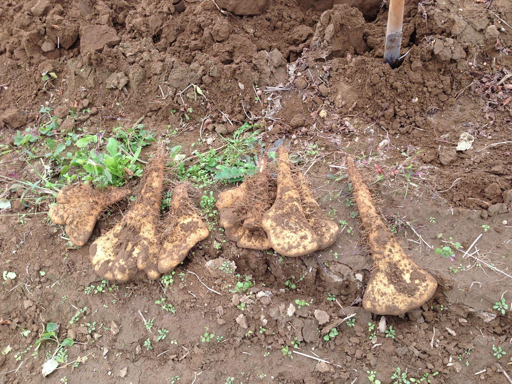 やまと芋の掘り起こし作業